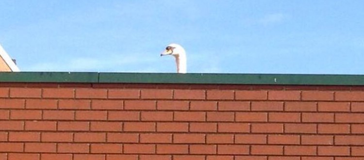 swan tesco