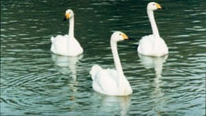 myfile myfile bewicks on lake