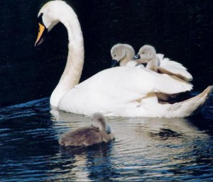 myfile myfile parent with cygnets riding on back