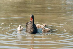 myfile myfile black parent and cygnets