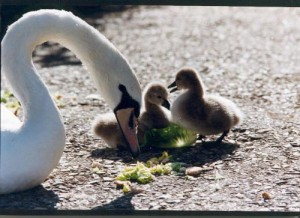 myfile myfile parent with new born cygnets