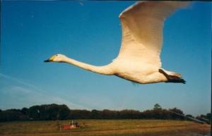 myfile myfile whooper in flight