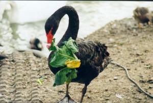 myfile myfile black swan feeding