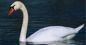 myfile swan