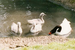 myfile myfile black neck parent and cygnets