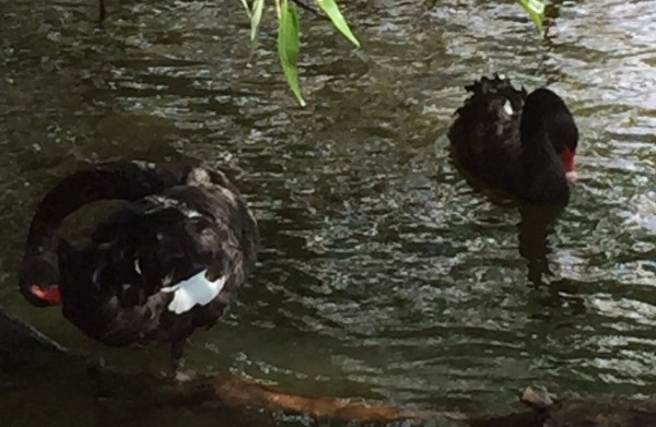 In the black swan flock at the Sanctuary